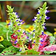 コリウスの花