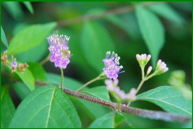 コムラサキシキブの花