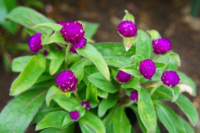 千日紅・紫紅
