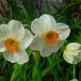 房咲き水仙・ゼラニウム