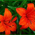 オレンジ色のスカシユリ