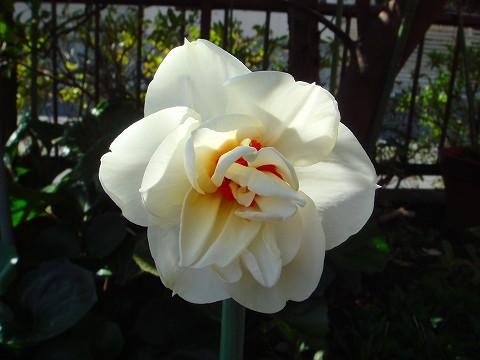 八重咲き・アクロポリス