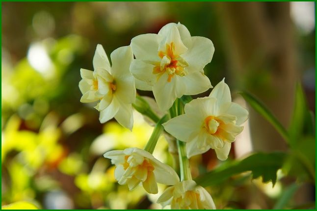 八重咲き日本水仙