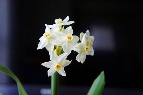 白・房咲き水仙