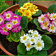 プリムラ・ジュリアン4色の寄せ植え