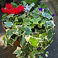 葉牡丹の寄せ植え