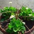 ヒメウツギとデージー(白)の寄せ植え