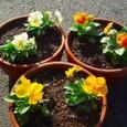 よく咲くスミレの寄せ植え