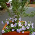 ローズマリー・マリンブルーとコピア(栄養系バコバ)の寄せ植え