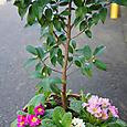 香り椿・春風とプリムラジュリアンの寄せ植え