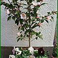 香り椿・春風の寄せ植え