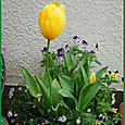 黄チューリップの寄せ植え