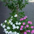 インパチェンスと椿の寄せ植え