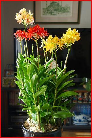 エピデンドラム(Epidendrum)の3色寄せ植え