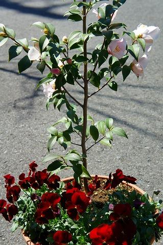 香り椿・春風とビオラの寄せ植え