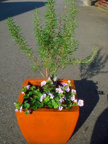 ローズマリー・マリンブルーと栄養系バコバのコピアの寄せ植え