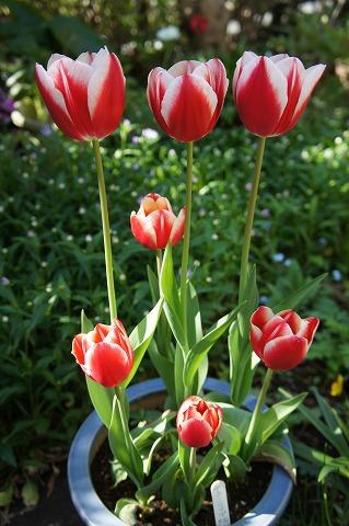 赤白チューリップ寄せ植え
