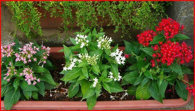 ペンタス3色の寄せ植え
