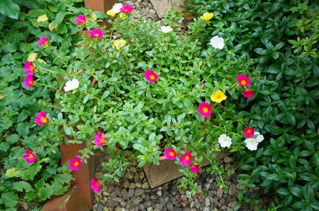 ハナスベリヒユ3色植え