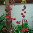 ヒューケラ・シナバーシルバーの花