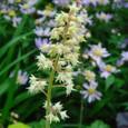 ヒューケラ・ストップライトの花