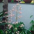 ヒューケラ・ストロベリースワールの花