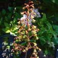 ヒューケラ・オブシディアンの花