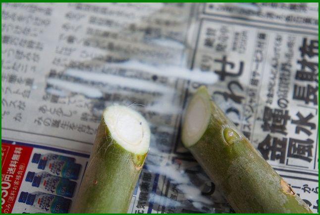 プルメリア・レモンサンセット挿し木に変更 2013/06/22