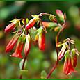 カランコエ・ミラベラの花