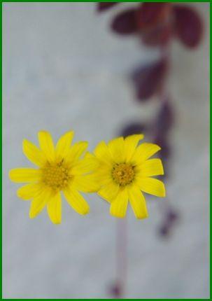 多肉・ルビーネックレスの花