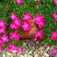 四季咲きナデシコ