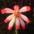 エリカ・ファイヤーヒース・ピンク