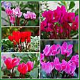 ガーデンシクラメン5種