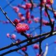 梅(八重咲き)
