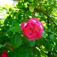 薔薇 ・アンジェラ