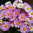 ボンザマーガレット・リーフ(一重)咲き・ラズベリー