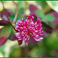 クローバー・ティントワインの花
