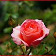四季咲き性バラ