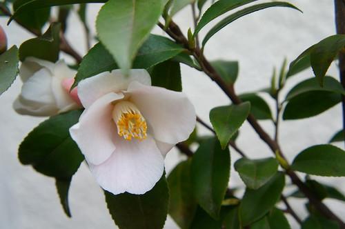 香り椿・春風