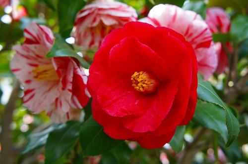椿・絵姿・赤花