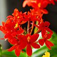 エピデンドラム(Epidendrum)