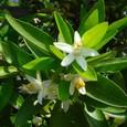 伊予柑の花