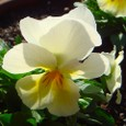 よく咲くスミレ・ミルクセーキ