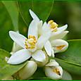 イヨカンの花