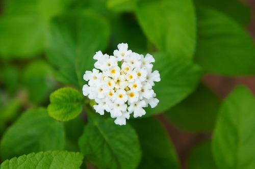 ランタナ・白花