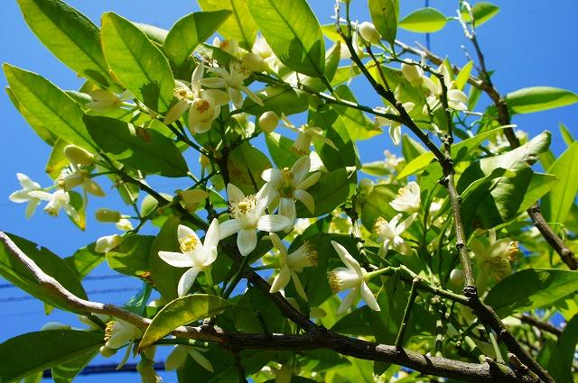 夏ミカンの花