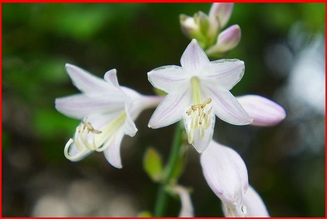 ギボウシの花