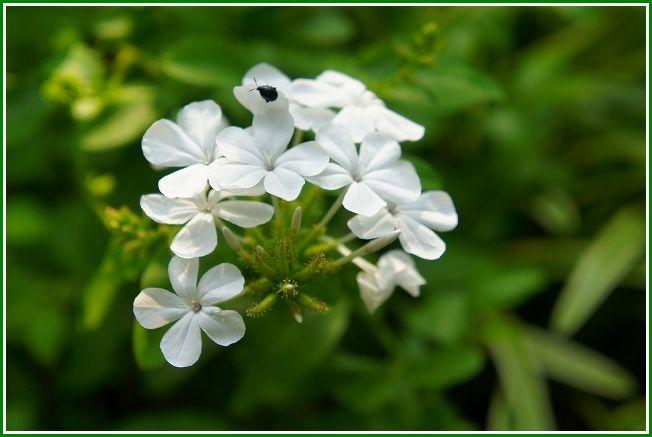 瑠璃茉莉(ルリマツリ)・プランバーゴ白花