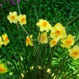 房咲き水仙・スージー