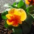 よく咲くスミレ・マーマレード